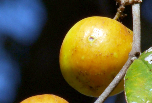 ber or jujube fruit