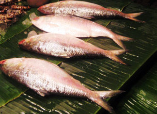Ilish_Fish