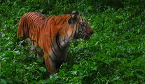 Tiger-Nagarahole-2