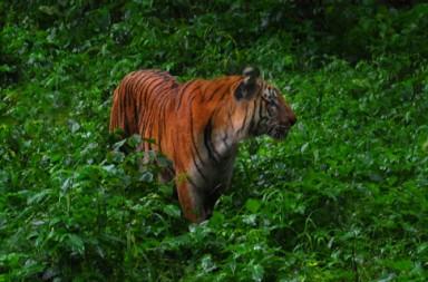 Tiger-Nagarahole