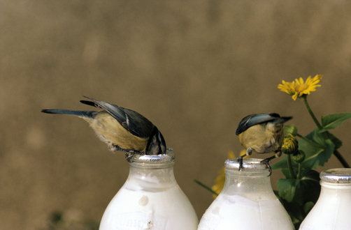 Animal Inspirations - Blue Tit (Parus caeruleus)