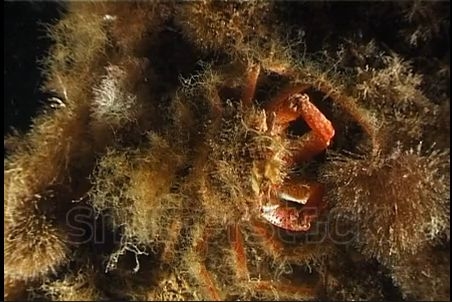 Animal Inspirations - camouflaging sea spider