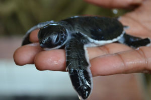 sustainable wildlife preservation - Turtle hatchery a young one up close