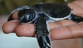 Turtle-hatchery_a-young-one-up-close-featured