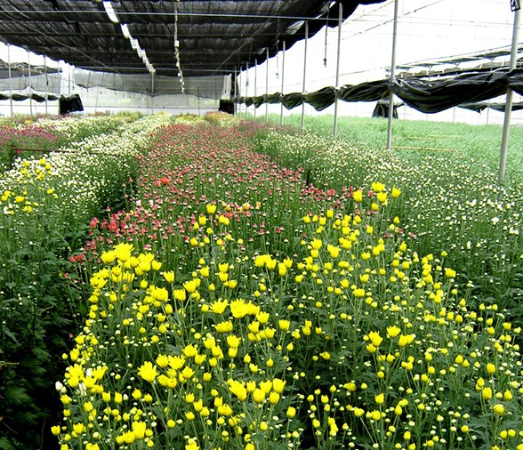 Chrysanthemum-blooms-in-a-Floriculture-unit-in-Bangalore