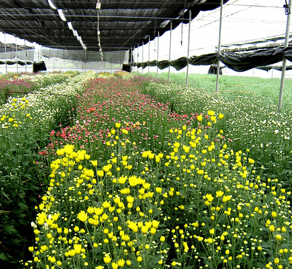 beyond the rosy picture - Chrysanthemum-blooms-in-a-Floriculture-unit-in-Bangalore