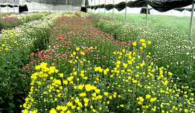 Chrysanthemum-blooms-in-a-Floriculture-unit-in-Bangalore2