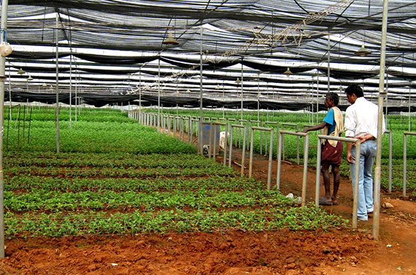beyond the rosy picture - Fresh-Chrysanthemum-saplings-planted-in-polyhouses