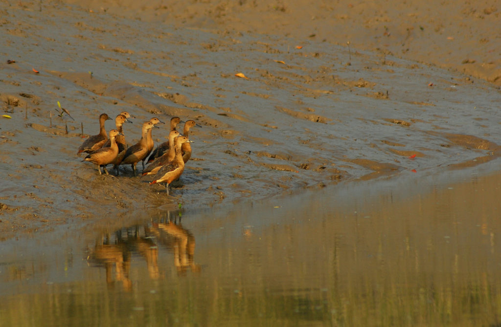 Whistling-ducks-Sundarbans