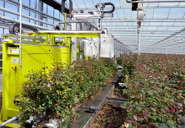 beyond the rosy picture - polyhouse-harvesting-robot