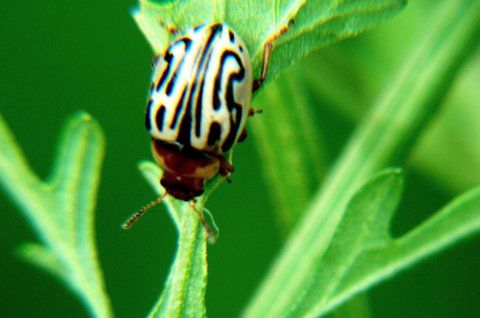 Eco-friendly Ideas from India - Mexican beetle - Zygogramma bicolorata