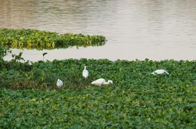 Water Hyacinth on Lake