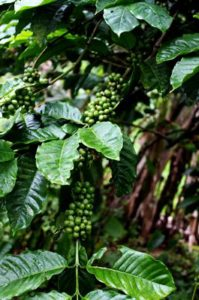 Homestays at Coorg - Exploring a coffee estate