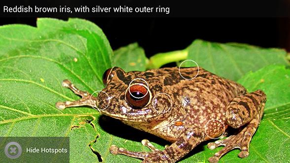 Frog World Ponmudi Bush Frog