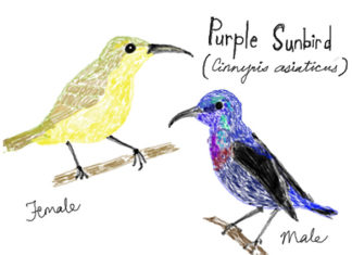 Urban Wildlife Purple Sunbirds