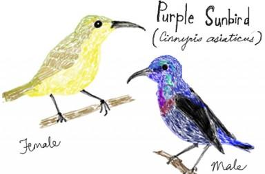 Urban Wildlife Purple Sunbirds