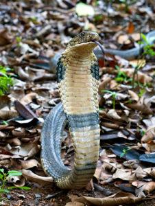 Snakes in India - King Cobra Venomous
