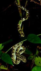 Malabar Pit Viper Venomous
