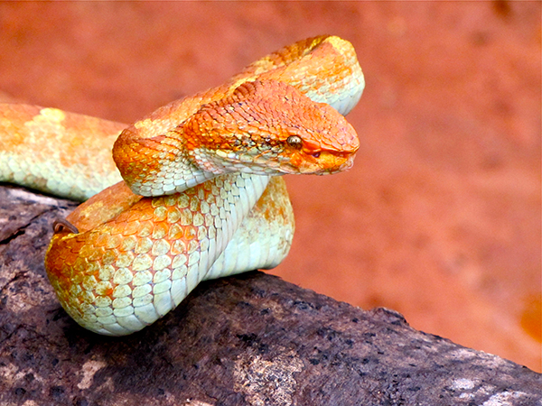 Snakes in India - Malabar Pit viper