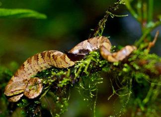 Snakes in India - Malabar Pitviper Venomous