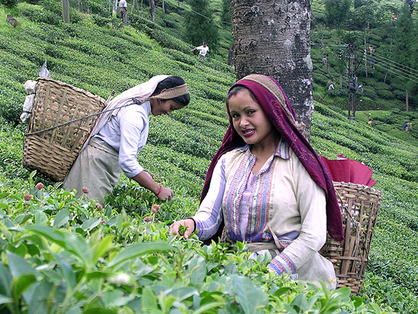 Geographical Indication - Darjeeling Tea