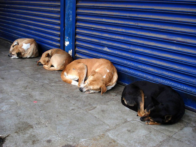 Indian Street Dogs