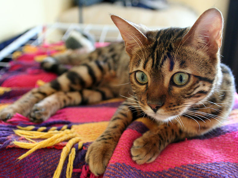 Pet cats in India - Bengal Cat