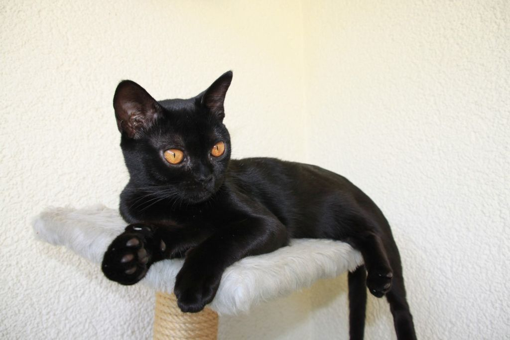 Pet cats in India - Bombay Cat