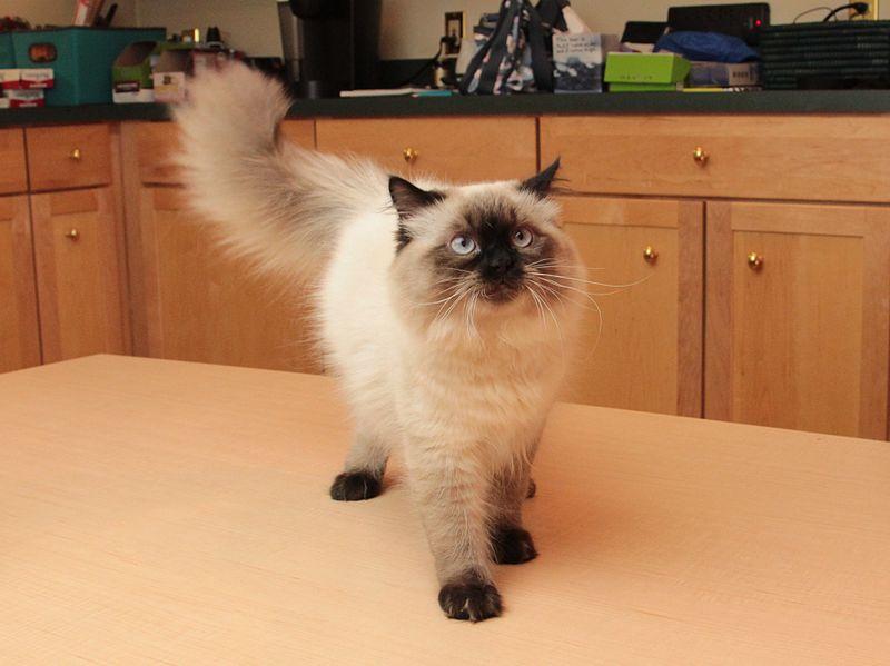 Pet cats in India - Himalayan Cat