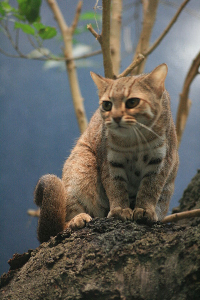 Pet cats in India - Rusty Spotted Cat