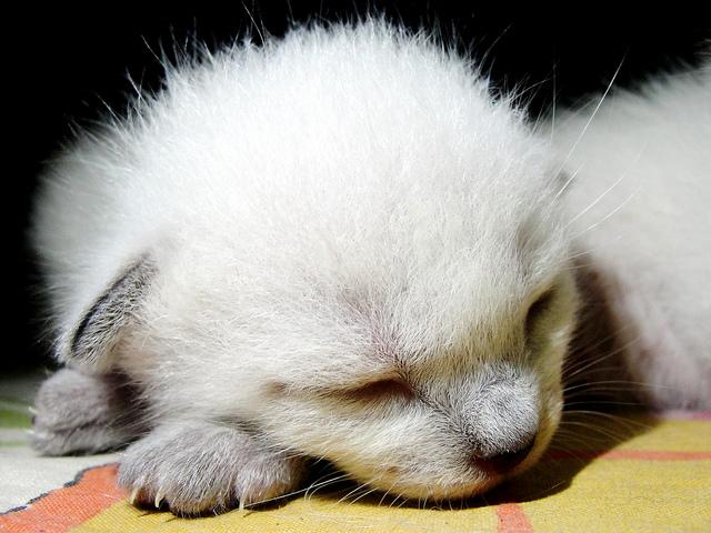 Pet cats in India - Siamese Cat