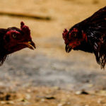 Cock Fighting in Tamilnadu