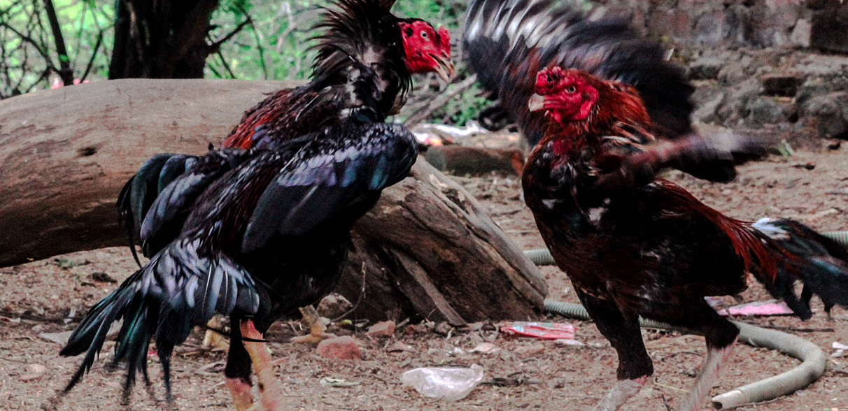 Cock-fight-in-India-3