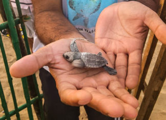 Velas Turtle Festival for saving turtles