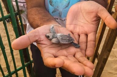 Velas Turtle Festival for saving turtles