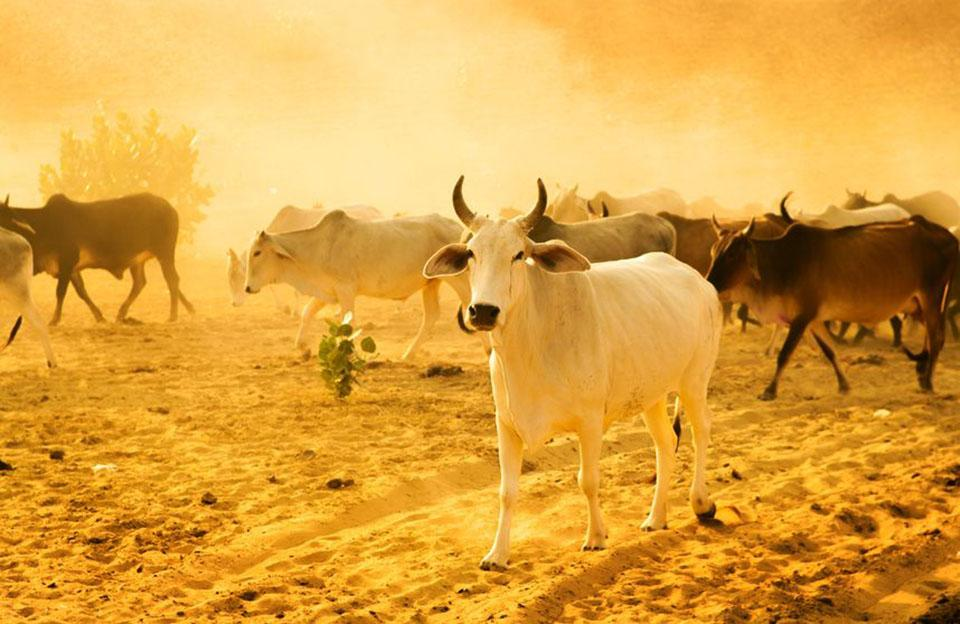 Beef-ban-india