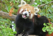 Red Panda Sikkim