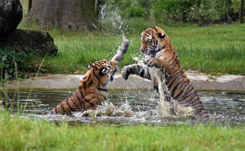 Tadoba-Andhari-Tiger-Safari