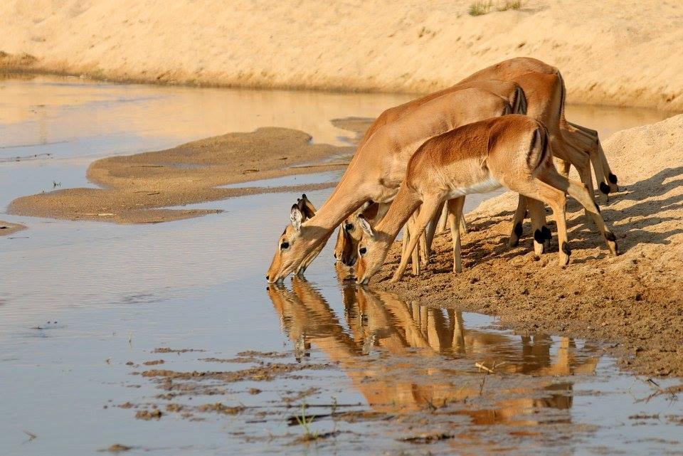 Barking Deers at Tadoba Andhari Tiger Safari - Image Tigers Heaven Resort