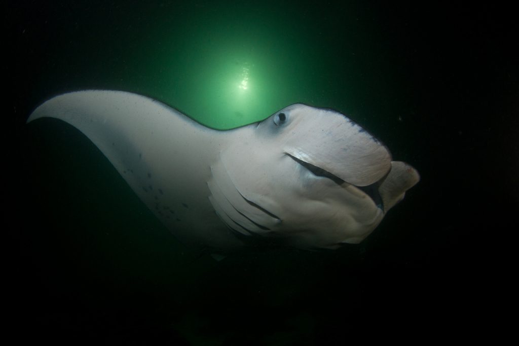Top-Offbeat-Spots-in-Hawaii-Manta-Ray-Night-Dive