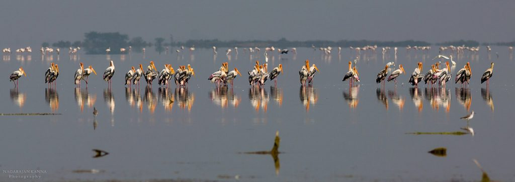 Migratory-Birding-Destinations-in-India-Pulicat-Lake