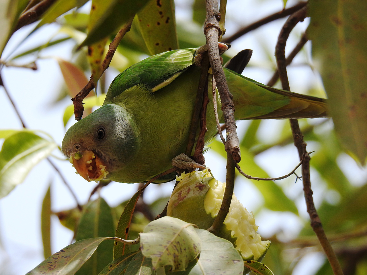 Plum-headed-parakeet