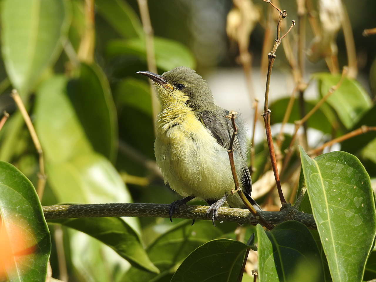 Purple-rumped-Sunbird-III
