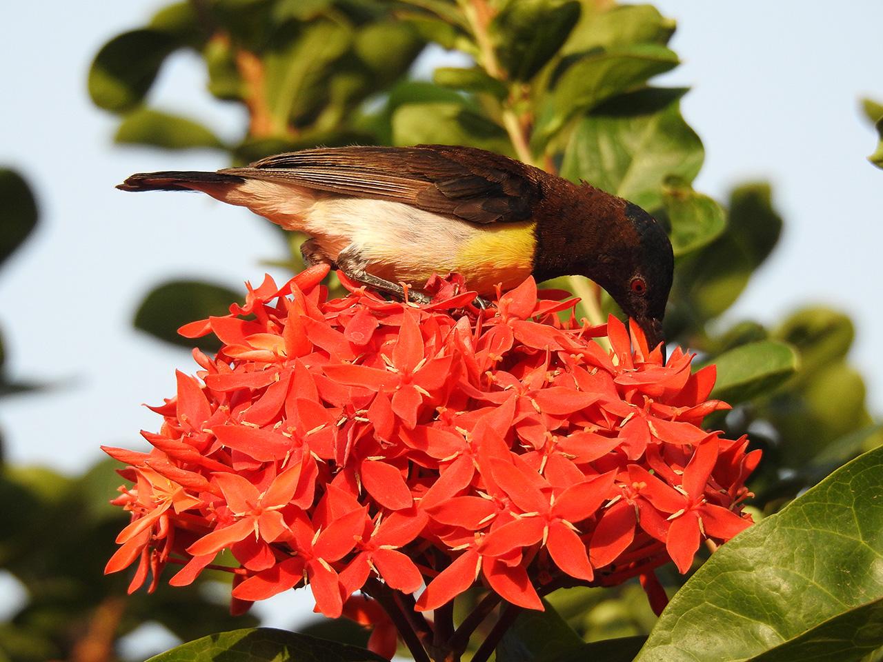 Purple-rumped-sunbird-II