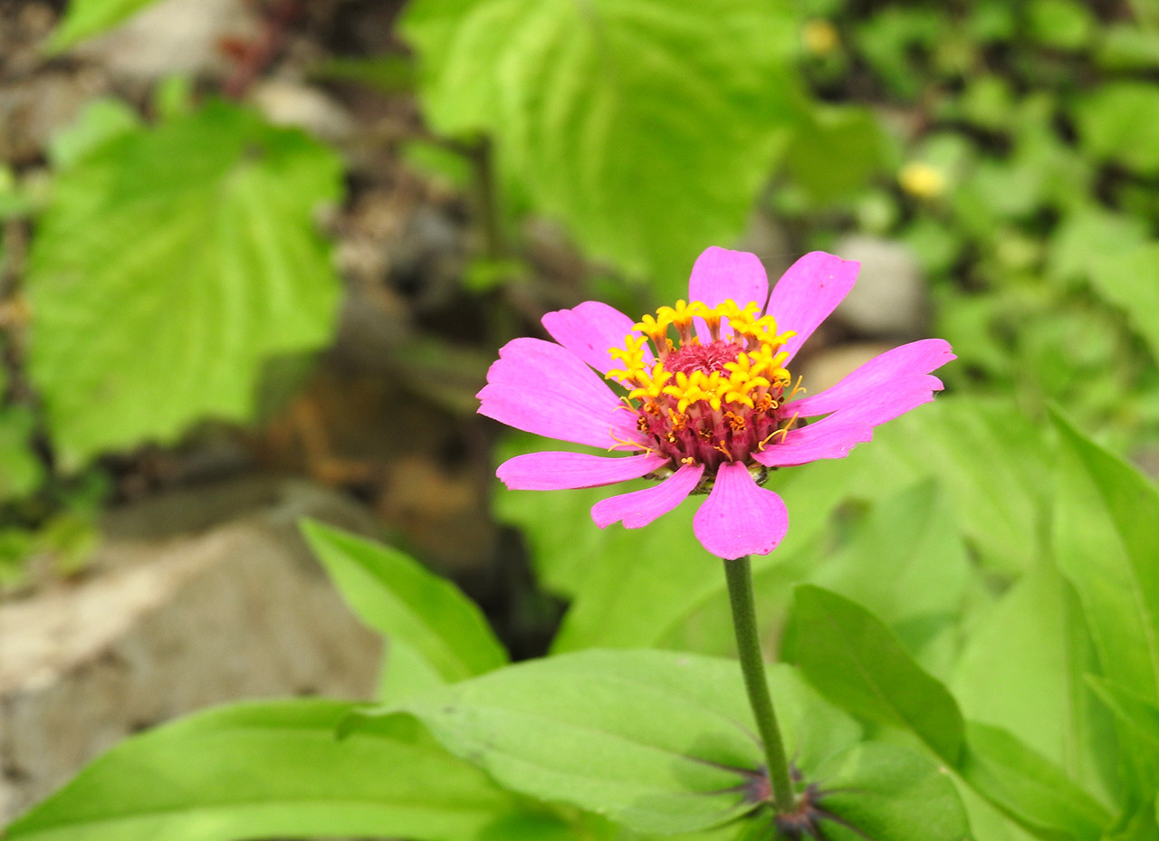 Shraavana,-the-Season-of-Ecstasy-for-Wildlife-Cosmos