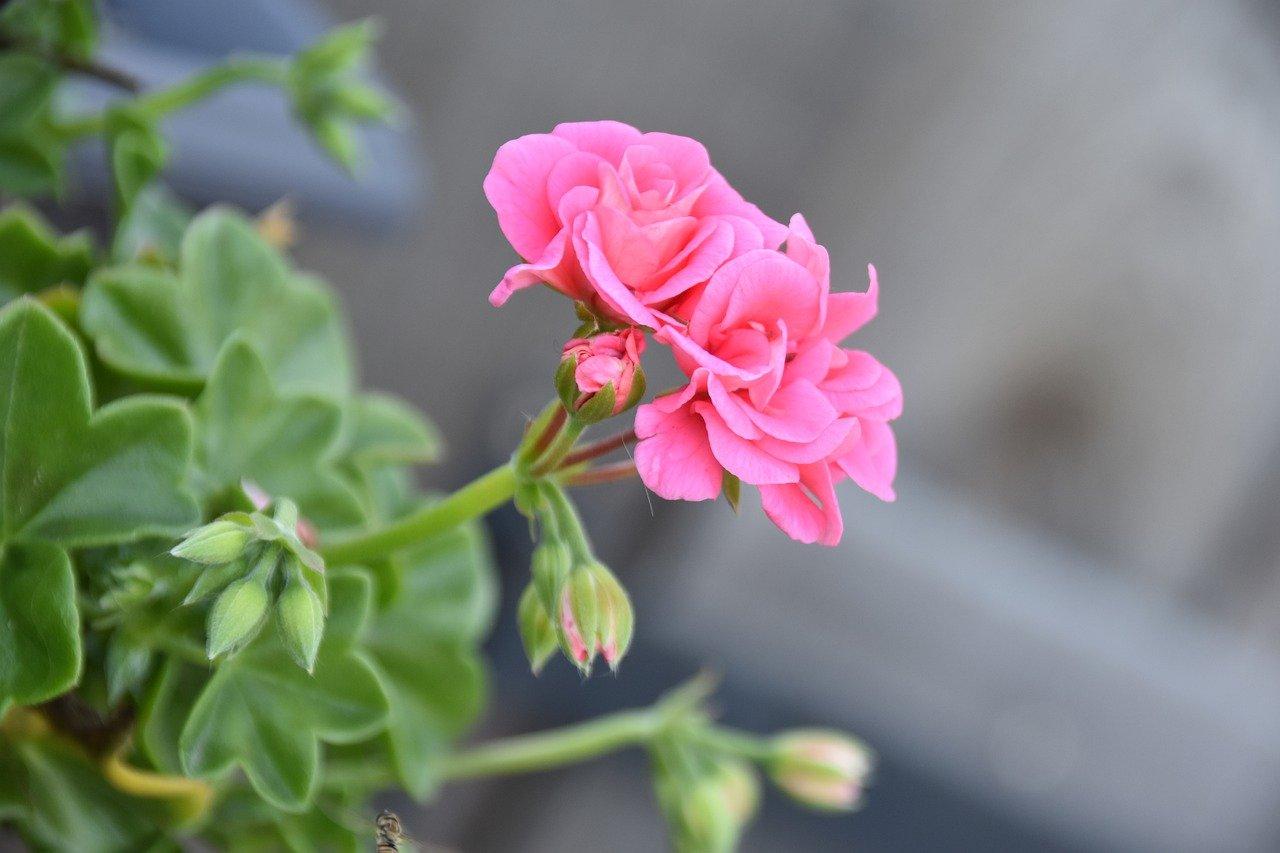 Best-Indoor-Flowering-Plants Geranium