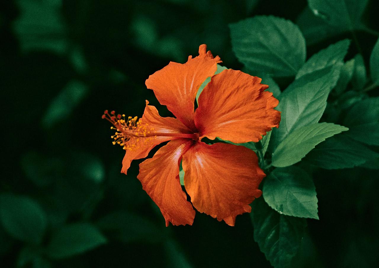 Best-Indoor-Flowering-Plants-Hibiscus