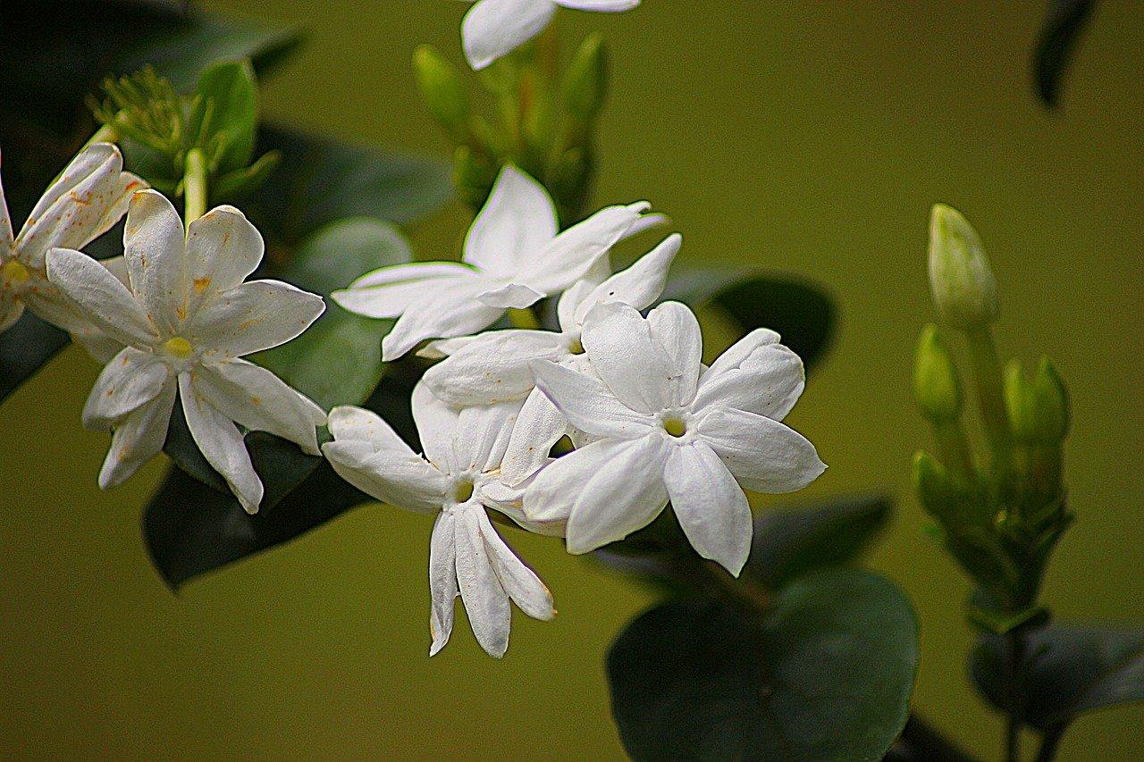 Best-Indoor-Flowering-Plants Jasmine