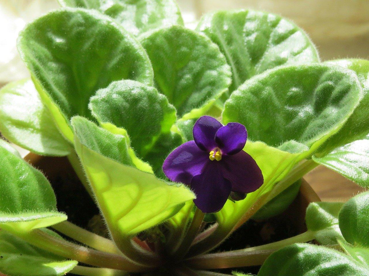Best-Indoor-Flowering-Plants-Saintpaulia