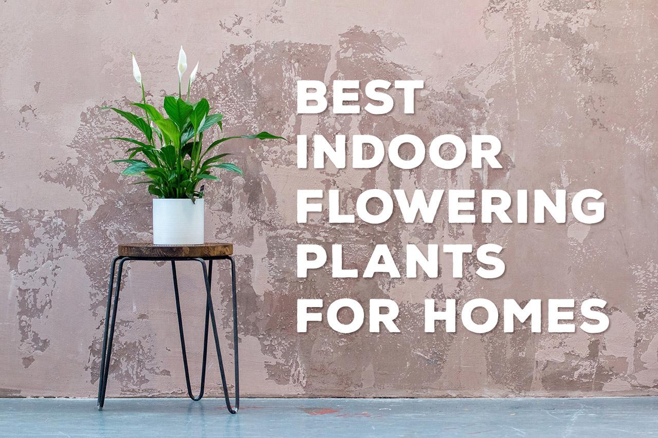 Best-Indoor-Flowering-Plants